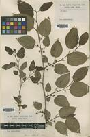 Type of Morus alba L. [family MORACEAE]