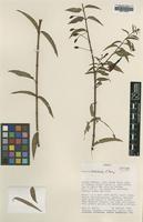 Isotype of Fuchsia hatschbachii P.E.Berry [family ONAGRACEAE]