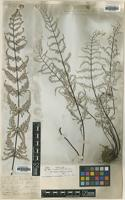 Syntype of Cheilanthes dealbata D.Don [family PTERIDACEAE]