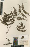 Isotype of Cystopteris japonica Tagawa var. taiwaniana [family CYSTOPTERIDACEAE]