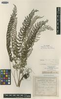 Type of Polystichum christii Ching [family DRYOPTERIDACEAE]