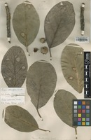 Isolectotype of Ficus urbaniana Warb. [family MORACEAE]