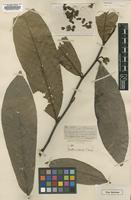 Holotype of Guatteria sylvicola S.Moore [family ANNONACEAE]