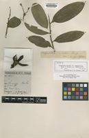 Isotype of Polyalthia pulchra King var. angustifolia [family ANNONACEAE]