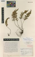 Holotype of Polypodium humbertii C.Chr. [family POLYPODIACEAE]
