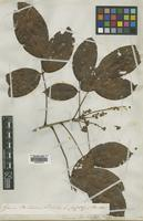 Isotype of Connarus schomburgkii Planch. [family CONNARACEAE]