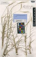 Type of Chamaeraphis hordeacea R.Br. [family POACEAE]