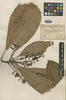 Isotype of Rhabdodendron paniculatum Huber [family RHABDODENDRACEAE]