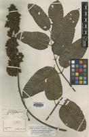 Isotype of Canarium luxurians Engl. [family BURSERACEAE]