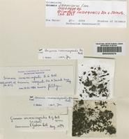 Holotype of Grimmia inaequalis Dixon & Sainsbury [family GRIMMIACEAE]