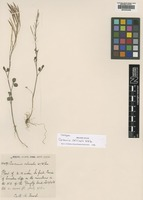 Isotype of Cardamine calcicola W.W.Sm. [family BRASSICACEAE]