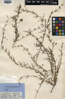 Holotype of Ipomoea dissecta R.Br. [family CONVOLVULACEAE]