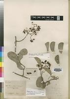 Isotype of Hippocratea obtusifolia Loes. f. crassior [family CELASTRACEAE]