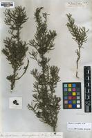 Type of Persoonia curvifolia R.Br. [family PROTEACEAE]