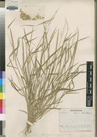 Syntype of Tricholaena grandiflora Rendle var. glabrescens [family POACEAE]