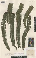 Isotype of Gymnogramme grandis Baker [family PTERIDACEAE]