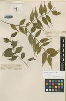 Type of Memecylon scolopacinum Ridl. [family MELASTOMATACEAE]