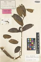 Isotype of Ailanthus fauveliana Pierre [family SIMAROUBACEAE]