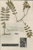 Type of Cassia cernua Balb. [family LEGUMINOSAE]