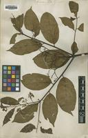 Type of Cordia panicularis Rudge [family BORAGINACEAE]