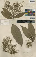 Type of Aydendron hostmannianum Nees [family LAURACEAE]