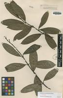 Isotype of Anodendron benthamianum Hemsl. [family APOCYNACEAE]