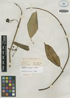 Type of Treutlera insignis Hook.f. [family APOCYNACEAE]