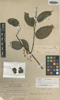 Syntype of Strychnos pseudotieute A.W.Hill [family LOGANIACEAE]