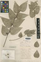 Type of Phyllanthus sylvincola S.Moore [family EUPHORBIACEAE]