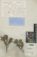 Holotype of Xanthostemon integrifolius Baker f. [family MYRTACEAE]