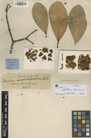 Isotype of Clusia weddelliana Planch. & Triana [family CLUSIACEAE]