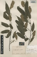 Type of Carpinus japonica H.J.P.Winkl. [family BETULACEAE]