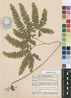 Filed as Adiantum oatesii Baker [family ADIANTACEAE]