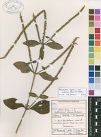 Filed as Achyranthes aspera L. var. pubescens (Moq.) C.C.Towns. [family AMARANTHACEAE]
