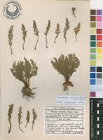 Filed as Cheilanthes robusta (Kunze) R.M.Tryon [family SINOPTERIDACEAE]