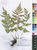 Filed as Dryopteris inaequalis (Schltdl.) Kuntze [family DRYOPTERIDACEAE]