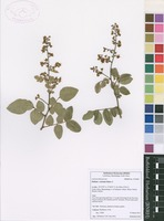 Filed as Dialium orientale Baker f. [family CAESALPINIACEAE]