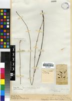 Type of Ischyrolepis helenae (Mast.) H.P.Linder [family RESTIONACEAE]