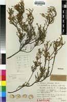 Isotype of Diosma strumosa I.Williams [family RUTACEAE]