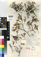 Holotype of Erica galgebergensis H.A.Baker [family ERICACEAE]