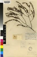 Holotype of Phylica ampliata Pillans [family RHAMNACEAE]