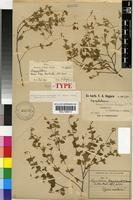 Isotype of Argyrolobium ascendens (E.Mey.) Walp. [family FABACEAE]