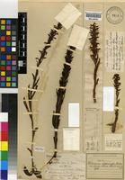 Lectotype of Habenaria anguiceps Bolus [family ORCHIDACEAE]