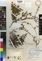 Holotype of Agathosma anysbergensis P.A. Bean ex Trinder- Smith [family RUTACEAE]