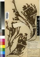 Isolectotype of Spatalla confusa (E.Phillips) Rourke [family PROTEACEAE]