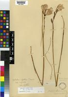 Isotype of Gladiolus bolusii Baker [family IRIDACEAE]