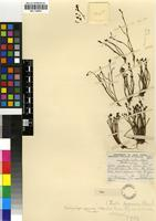 Holotype of Ischyrolepis pygmaea (Pillans) H.P.Linder [family RESTIONACEAE]