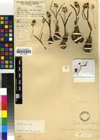 Holotype of Lachenalia pearsonii (P.E.Glover) W.F.Barker [family HYACINTHACEAE]