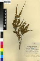 Holotype of Muraltia dispersa Levyns [family POLYGALACEAE]