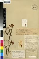 Holotype of Erica rufescens Klotzsch var. minor [family ERICACEAE]